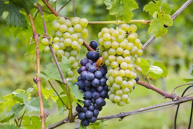 Les cépages de vin de France